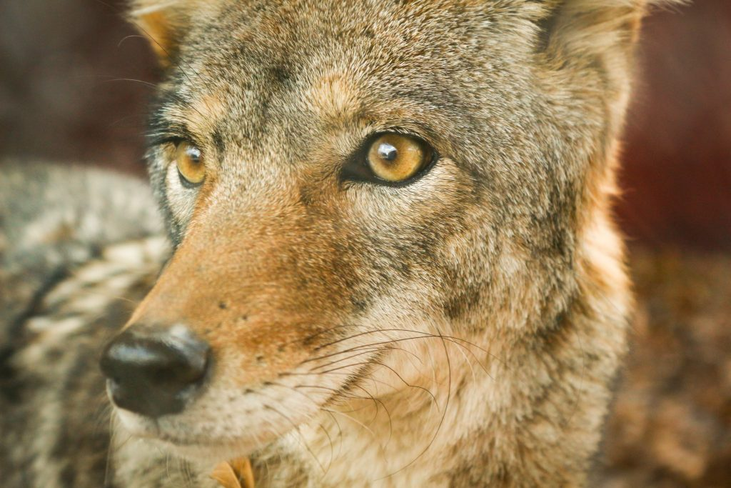 closeup photo of jackal