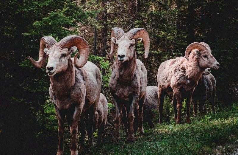 herd of rams in forest